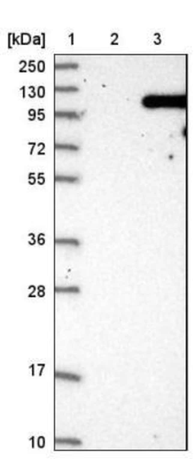 anti-VPS41, Polyclonal, Novus Biologicals 0.1mL; Unlabeled:Life Sciences
