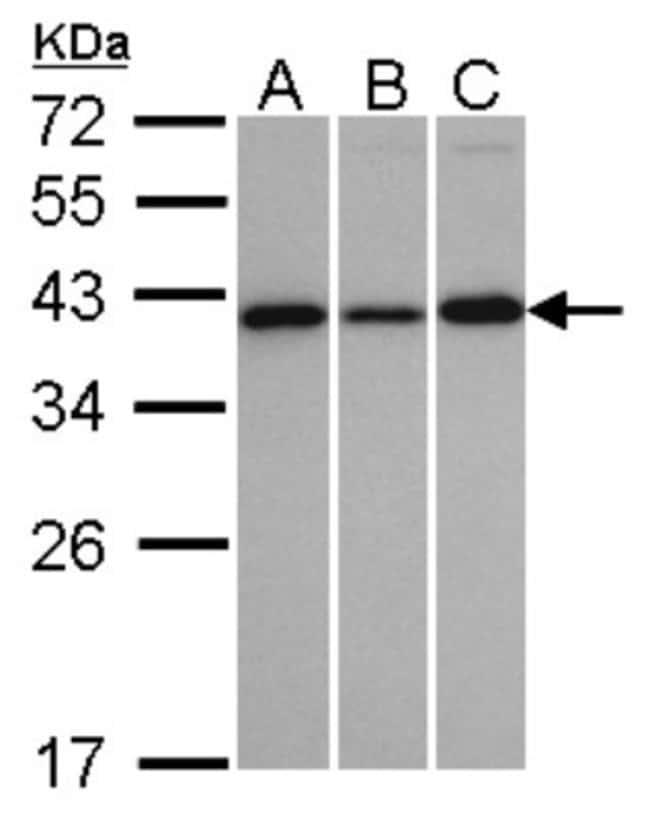 anti-VTA1, Polyclonal, Novus Biologicals 0.1mL; Unlabeled:Life Sciences