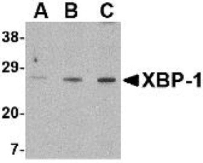 anti-XBP1, Polyclonal, Novus Biologicals 0.1mg; Unlabeled:Life Sciences