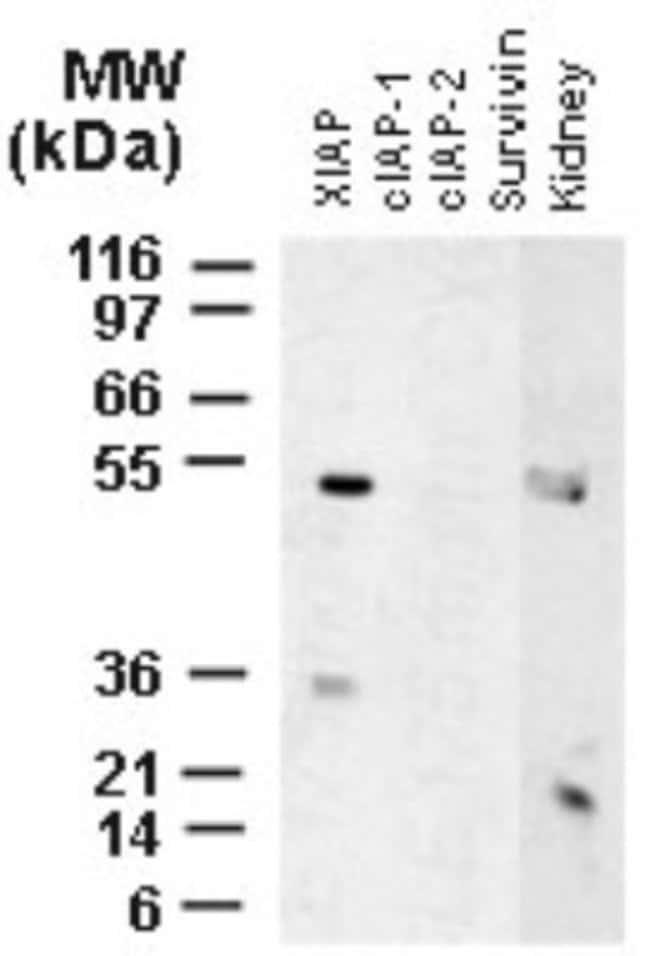XIAP Rabbit anti-Human, Rat, Polyclonal, Novus Biologicals:Antibodies:Primary