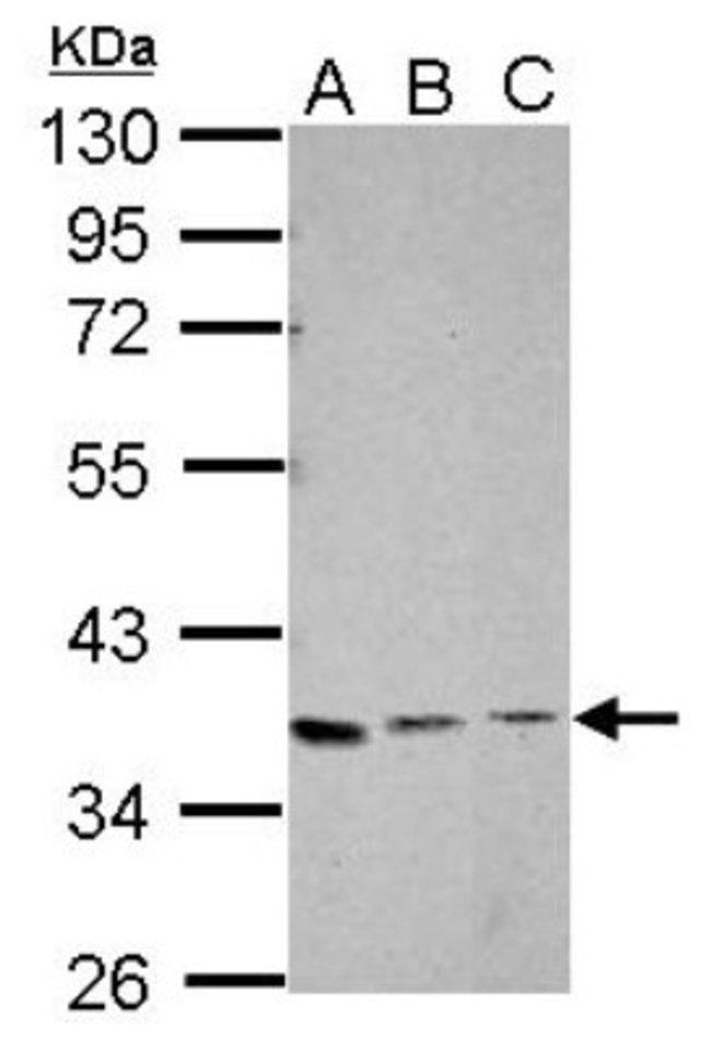 XRCC4 Rabbit anti-Human, Mouse, Polyclonal, Novus Biologicals 0.1mg; Unlabeled:Life