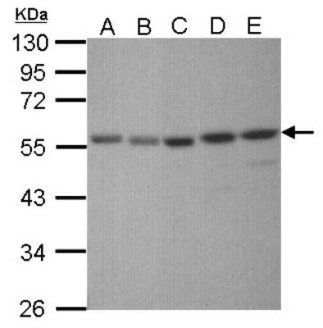 anti-XRCC4, Polyclonal, Novus Biologicals 0.1mL; Unlabeled:Life Sciences