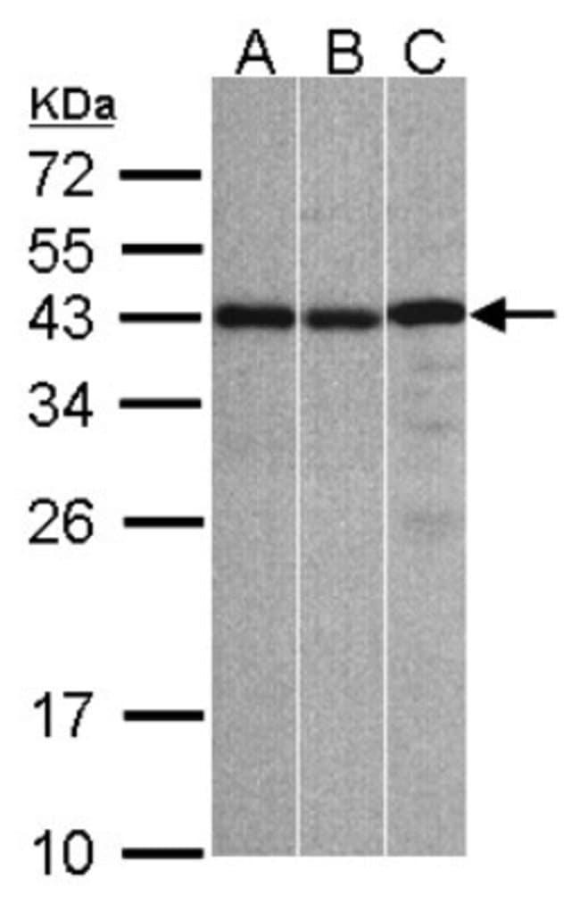 anti-ZC3H8, Polyclonal, Novus Biologicals 0.1mL; Unlabeled:Antibodies