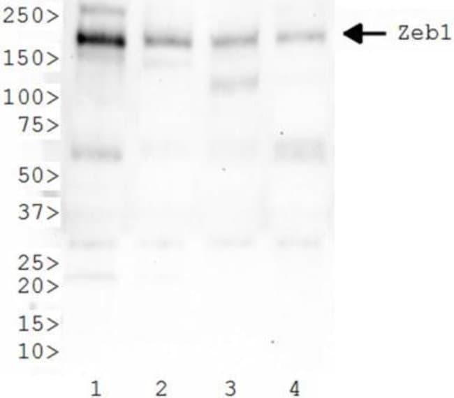 anti-ZEB1, Polyclonal, Novus Biologicals:Antibodies:Primary Antibodies