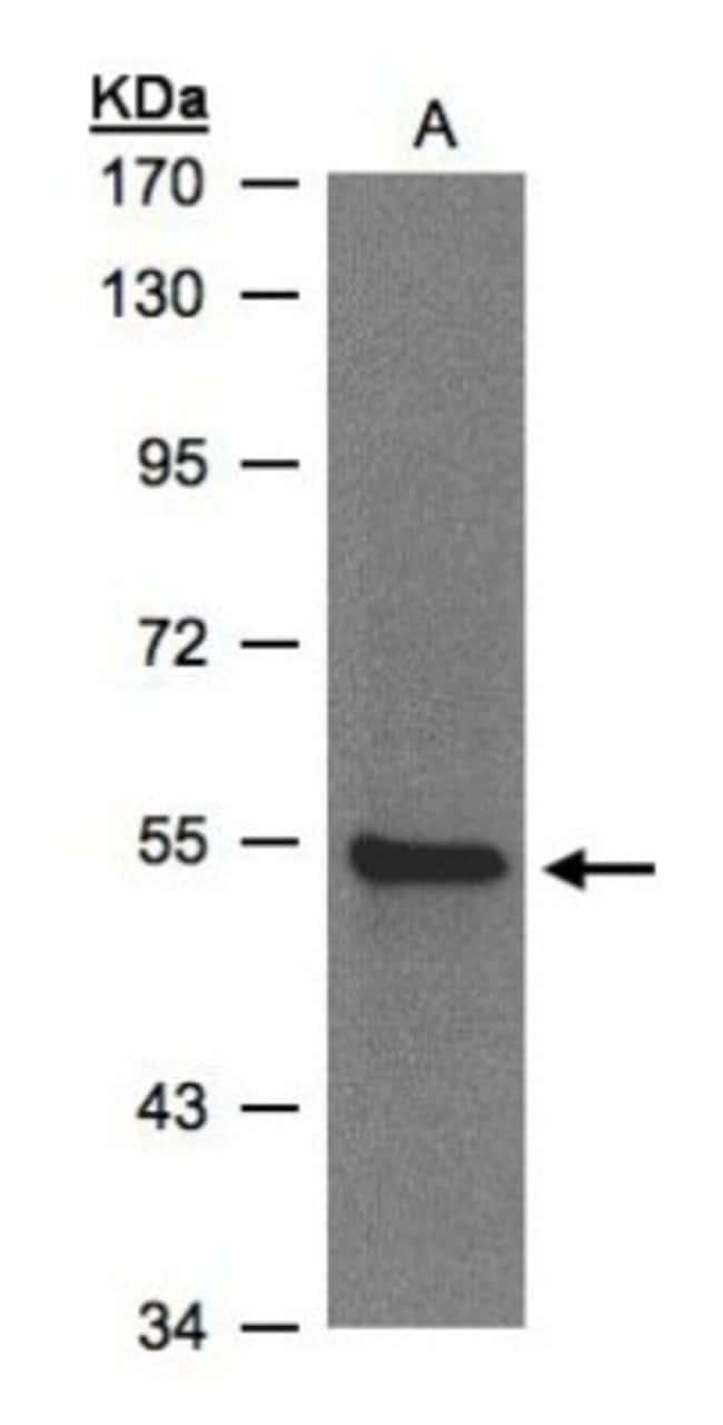 anti-ZNF157, Polyclonal, Novus Biologicals 0.1mL; Unlabeled:Life Sciences