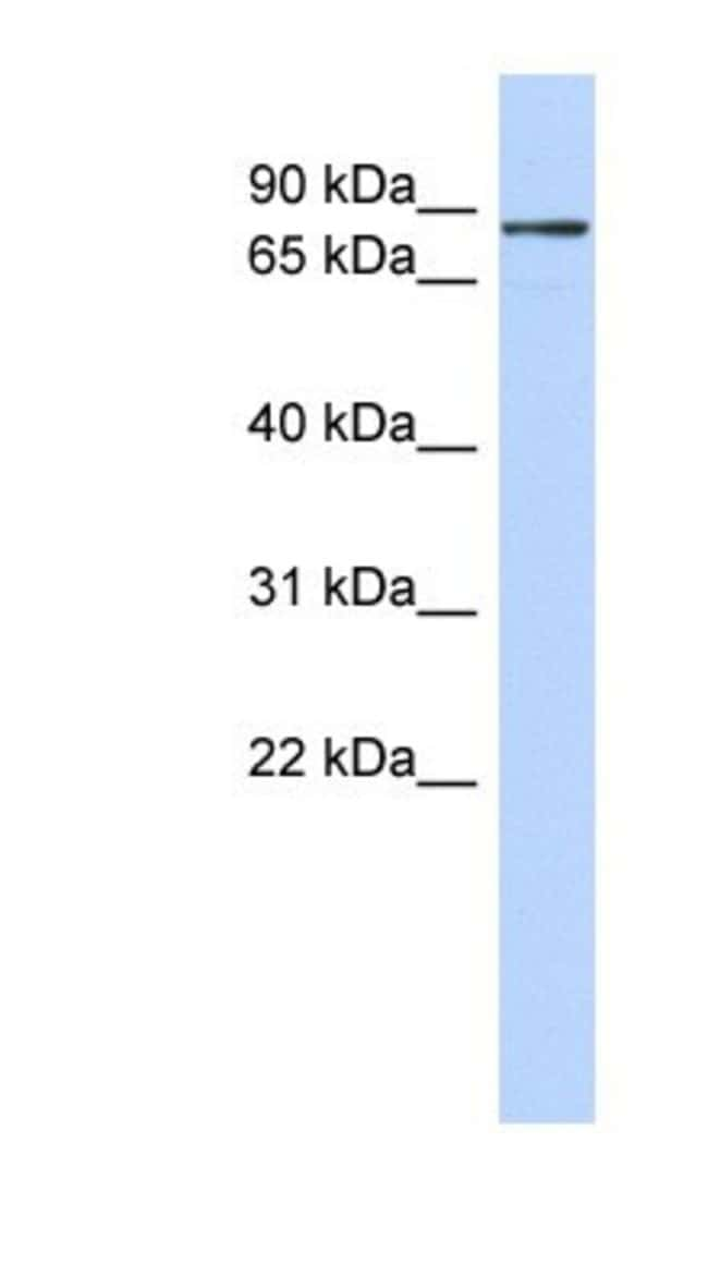 DC-SCRIPT/ZNF366 Rabbit anti-Human, Polyclonal, Novus Biologicals 20µL;