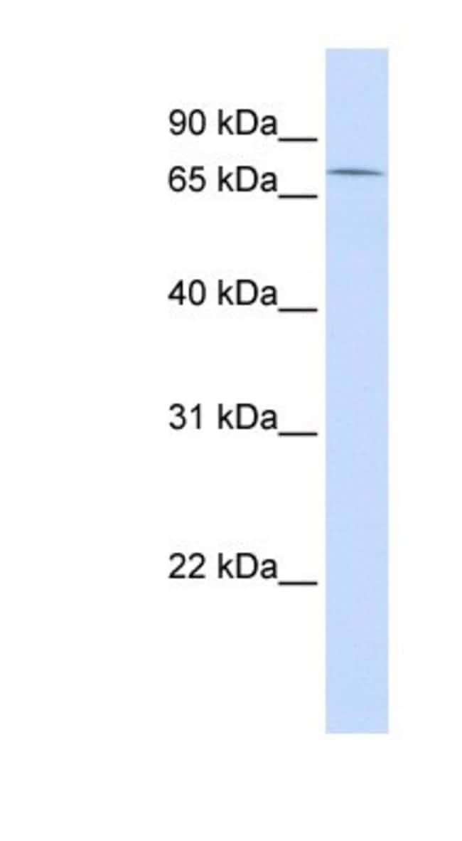 ZNF442 Rabbit anti-Human, Polyclonal, Novus Biologicals 100µL; Unlabeled:Life