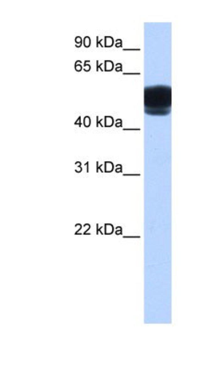 ZNF681 Rabbit anti-Human, Polyclonal, Novus Biologicals 20µL; Unlabeled