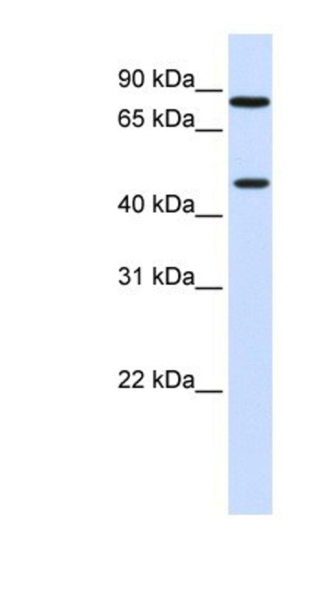 ZNF710 Rabbit anti-Human, Polyclonal, Novus Biologicals 20µL; Unlabeled