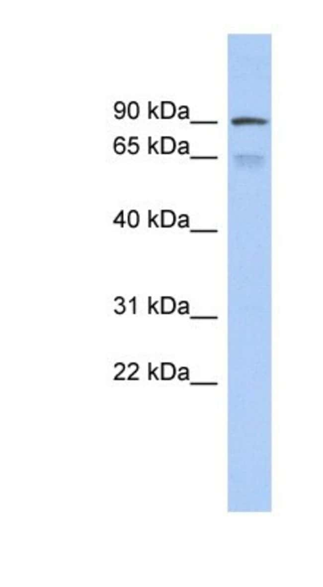 ZNF791 Rabbit anti-Human, Polyclonal, Novus Biologicals 20µL; Unlabeled