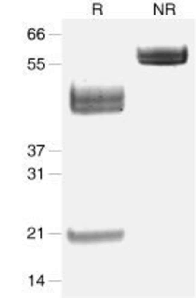 Mouse IL-23 Carrier-Free, Invitrogen™ 100μg; Unlabeled Mouse IL-23 Carrier-Free, Invitrogen™