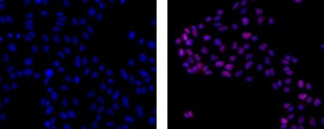IgG2a Rat anti-Mouse, eFluor 615, Clone: m2a-15F8, eBioscience™ 100μg; eFluor 615 IgG2a Rat anti-Mouse, eFluor 615, Clone: m2a-15F8, eBioscience™