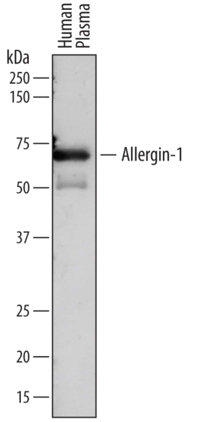Allergin-1 Sheep anti-Human, Polyclonal, R 100µg; Unlabeled