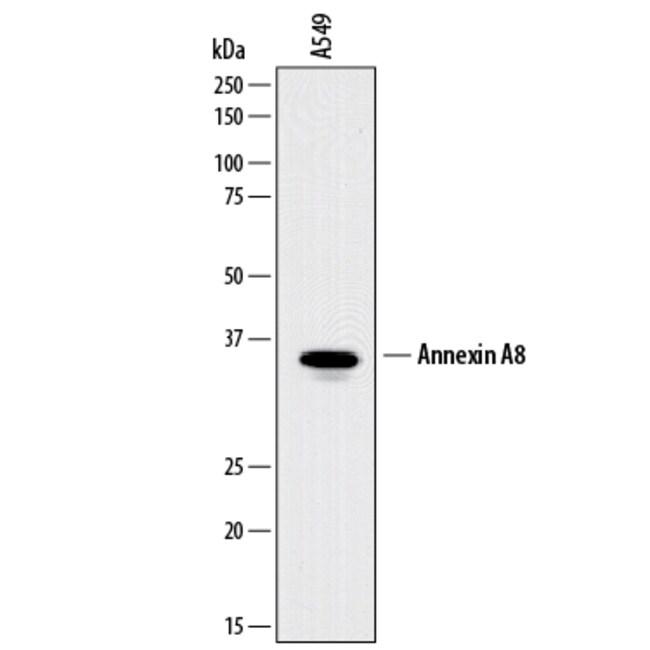 Annexin A8/ANXA8 Sheep anti-Human, Polyclonal, R 25µg; Unlabeled:Life