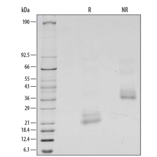 R&D Systems™Human BMP-4 Recombinant Protein: Home