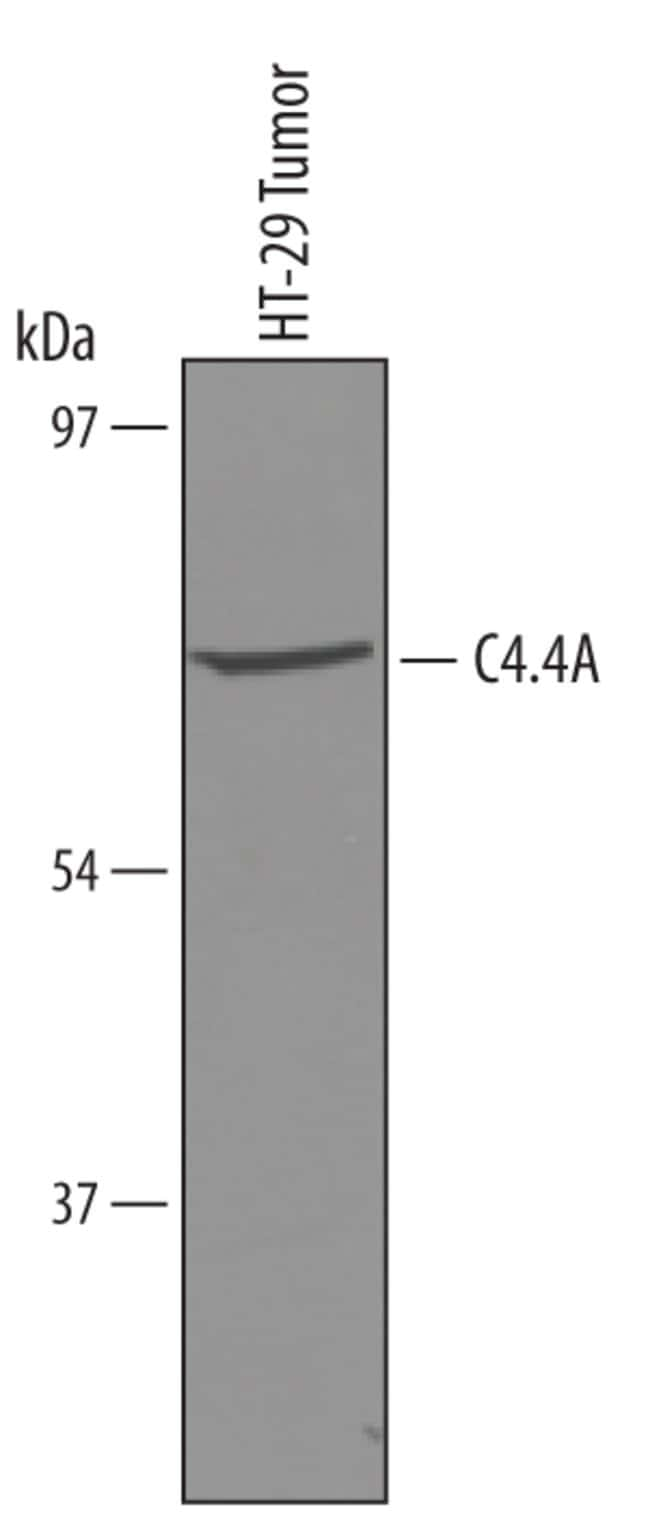 C4.4A/LYPD3 Sheep anti-Human, Polyclonal, R 25µg; Unlabeled:Life Sciences