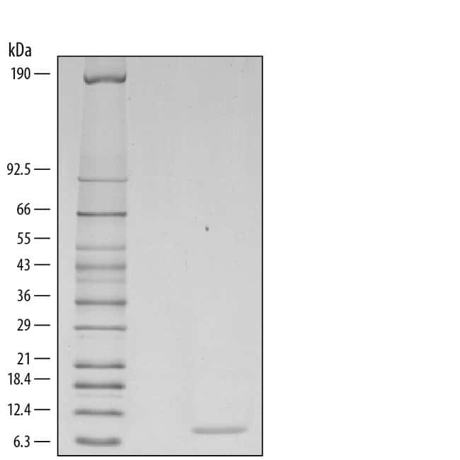 R Mouse CCL2/JE/MCP-1 Recombinant Protein  10ug; Carrier Free:Life Sciences