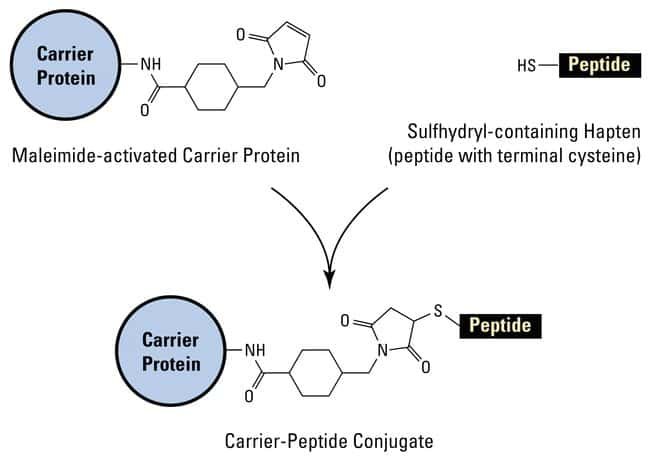 Thermo Scientific Imject Maleimide-Activated Blue Carrier Protein:Life