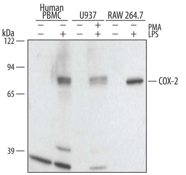 COX-2 Goat anti-Human, Mouse, Polyclonal, R 25µg; Unlabeled:Life Sciences