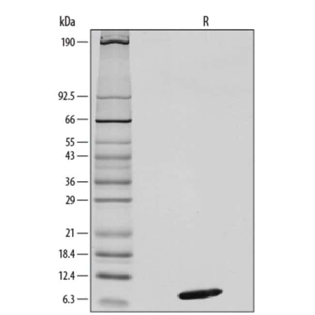 R Mouse CXCL12/SDF-1 alpha Recombinant Protein  10ug; Carrier Free:Life