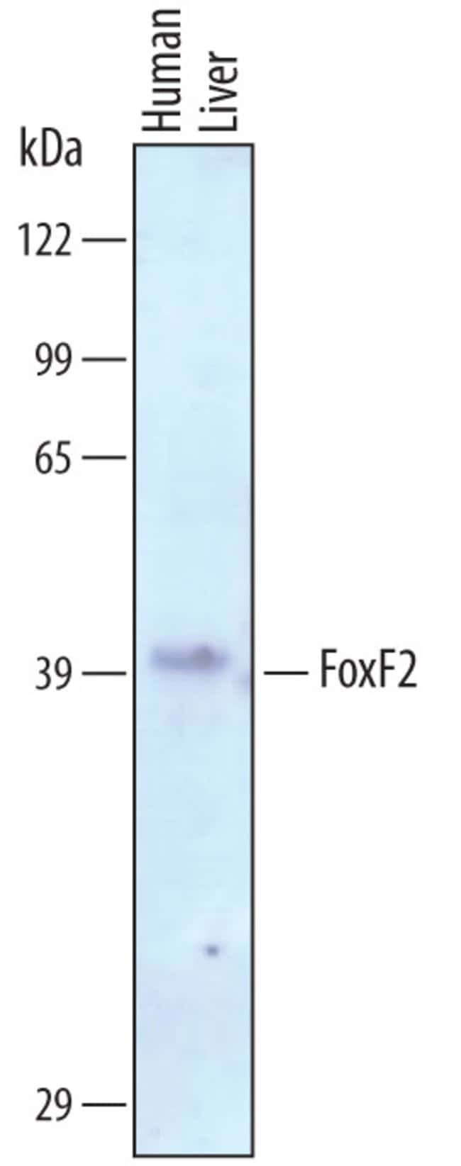 FoxF2 Sheep anti-Human, Polyclonal, R 25µg; Unlabeled:Life Sciences