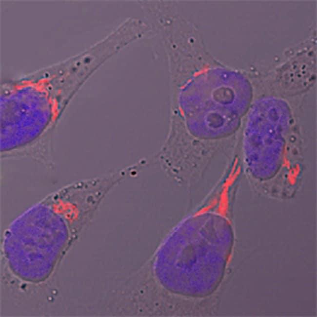 GALNT2 Sheep anti-Human, Polyclonal, R 25µg; Unlabeled:Life Sciences