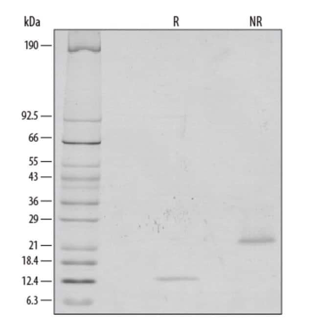 R&D Systems™Human/Mouse/Rat GDF-8/Myostatin Recombinant Protein 10ug R&D Systems™Human/Mouse/Rat GDF-8/Myostatin Recombinant Protein