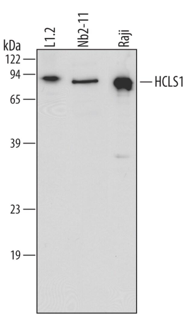 HCLS1 Goat anti-Human, Mouse, Rat, Polyclonal, R 25µg; Unlabeled:Life