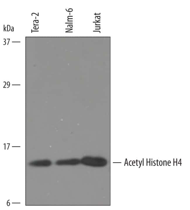 Acetyl Histone H4 Sheep anti-Human, Mouse, Polyclonal, R 25µg; Unlabeled:Life