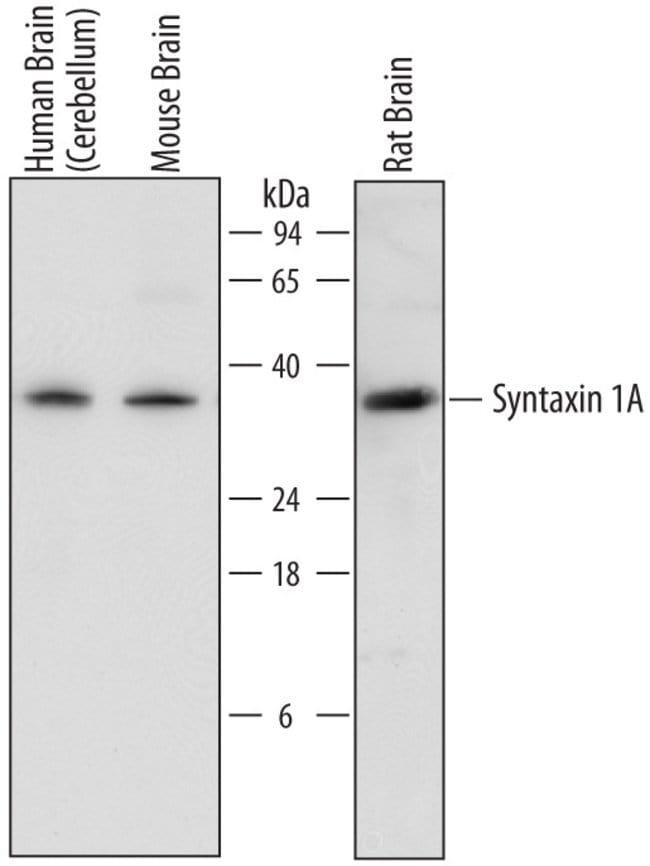 Rabbit anti-Goat IgG, HRP, Polyclonal, RD Systems 1mL, HRP:Antibodies