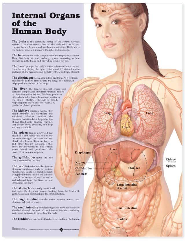 Anatomical Chart Series Internal Organs Of The Human Body