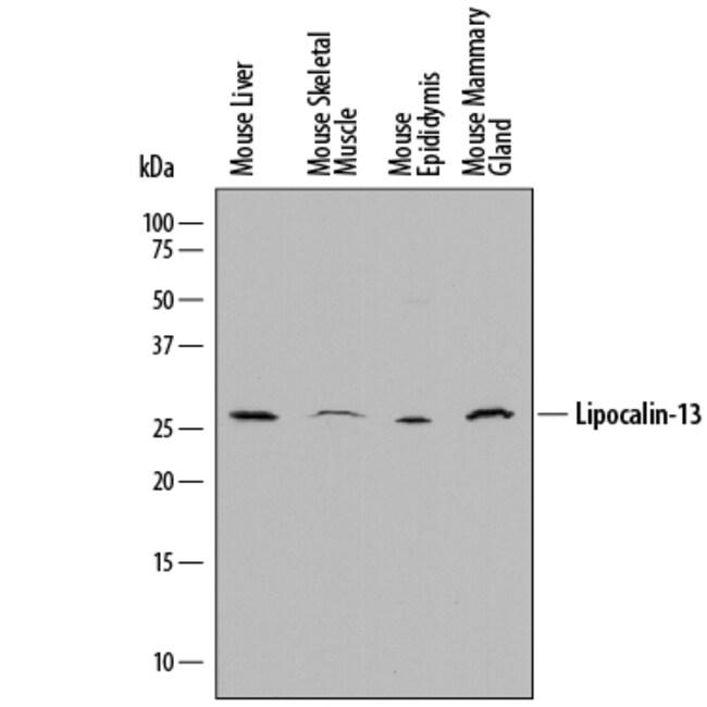 Lipocalin-13 Sheep anti-Mouse, Polyclonal, R 25µg; Unlabeled:Life