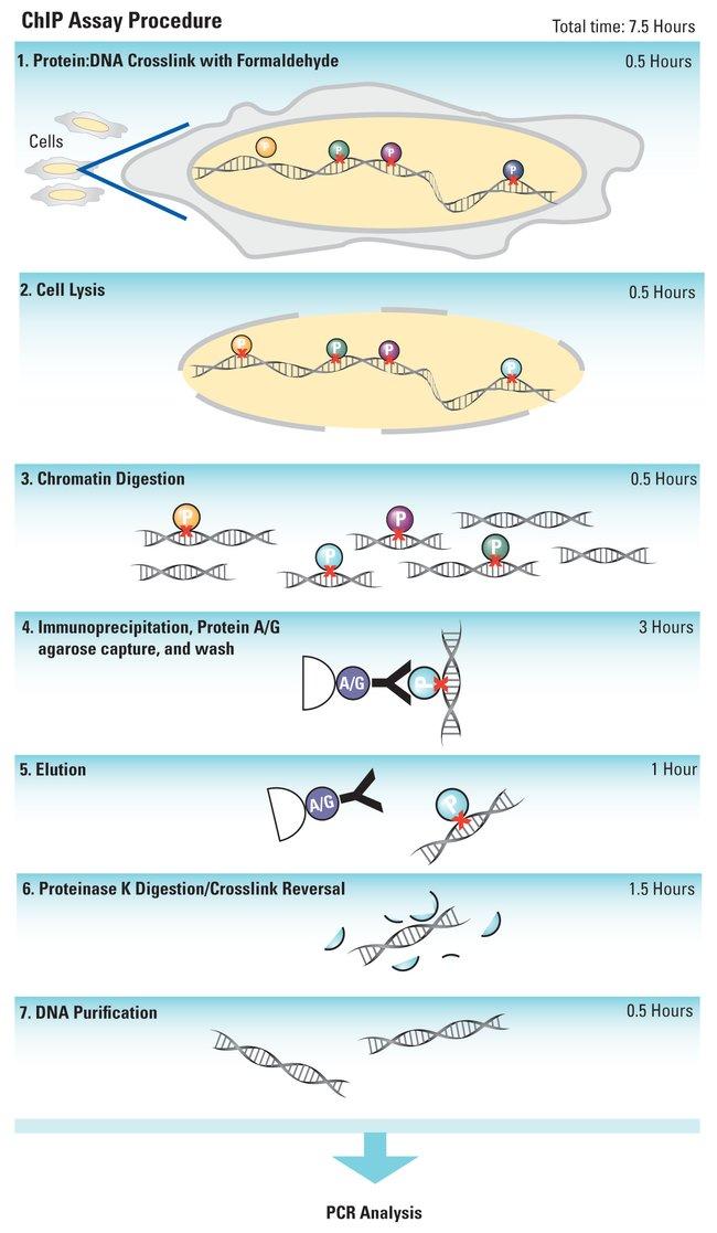 Thermo Scientific Pierce ChIP-Grade Protein A/G Plus Agarose:Life Sciences:Protein