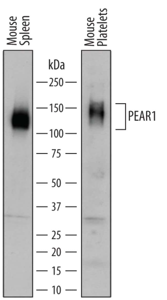 PEAR1 Sheep anti-Mouse, Polyclonal, R 100µg; Unlabeled