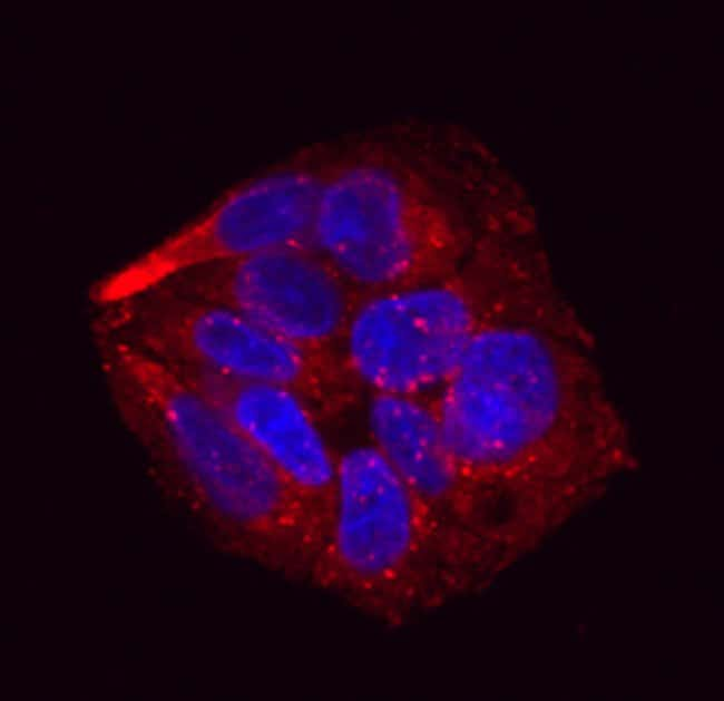 Pref-1/DLK1/FA1 Mouse anti-Human, Clone: 211309, RD Systems:Antibodies:Primary