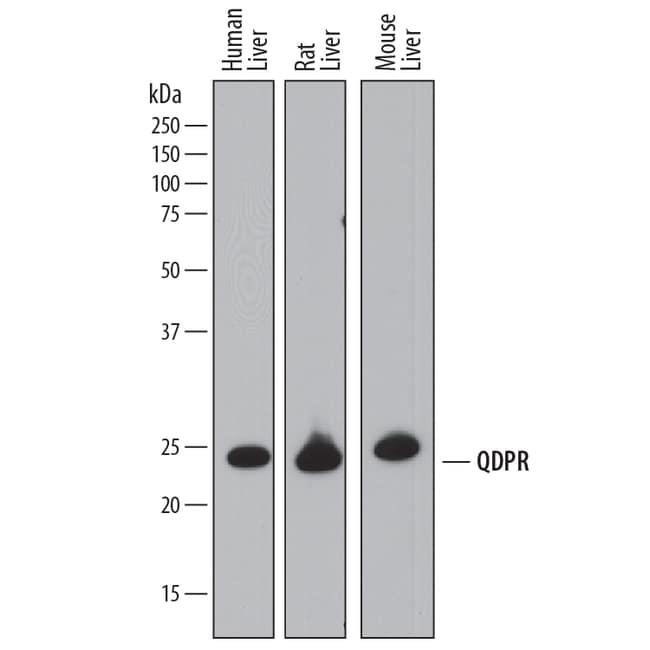 QDPR Sheep anti-Human, Mouse, Rat, Polyclonal, R 25µg; Unlabeled:Life