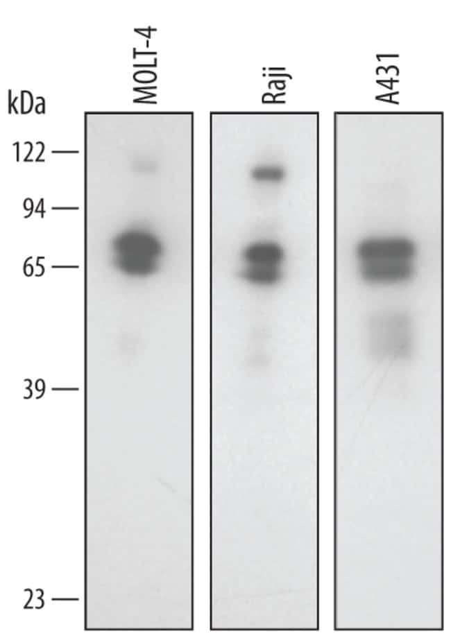 SODD/BAG4 Goat anti-Human, Polyclonal, R 25µg; Unlabeled:Life Sciences