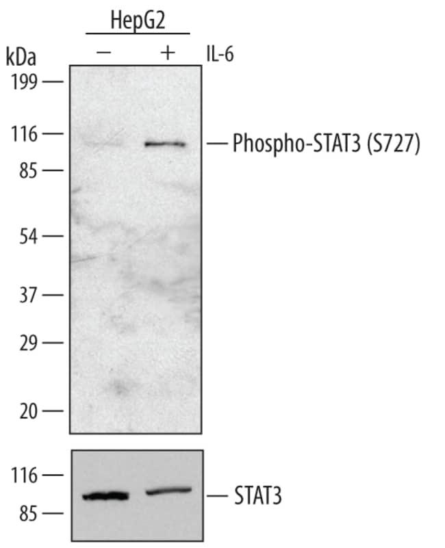 Phospho-STAT3 (S727) Rabbit anti-Human, Polyclonal, R 25µg; Unlabeled:Life