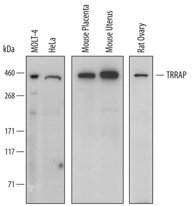 TRRAP Sheep anti-Human, Mouse, Rat, Polyclonal, R 100µg; Unlabeled