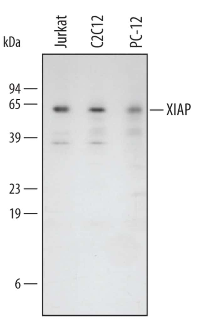 XIAP Goat anti-Human, Mouse, Rat, Polyclonal, R 100µg; Unlabeled
