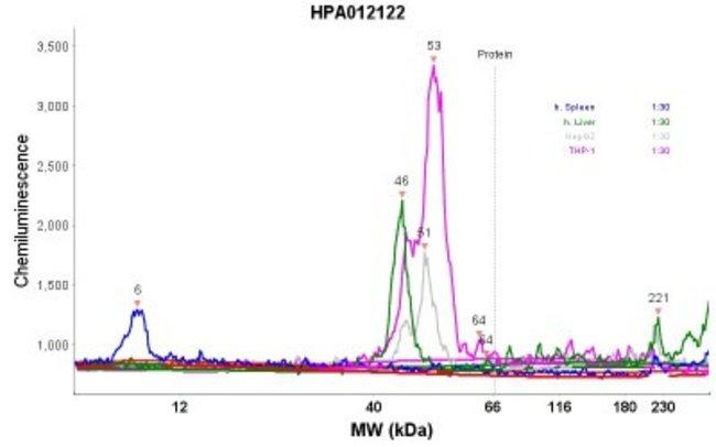 anti-FCRN/FCGRT, Polyclonal, Novus Biologicals:Antibodies:Primary Antibodies