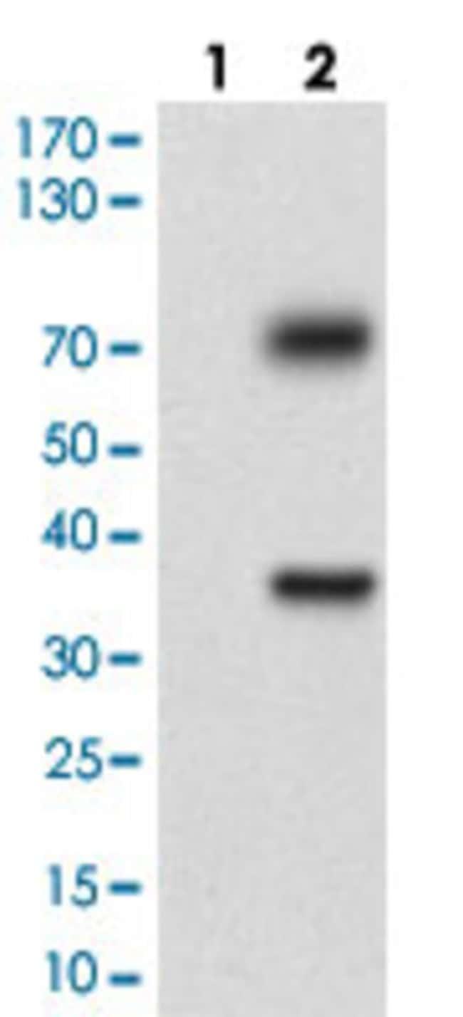 TUBE1 Mouse anti-Human, Clone: 7G3B2, Abnova 100μg; Unlabeled:Antibodies