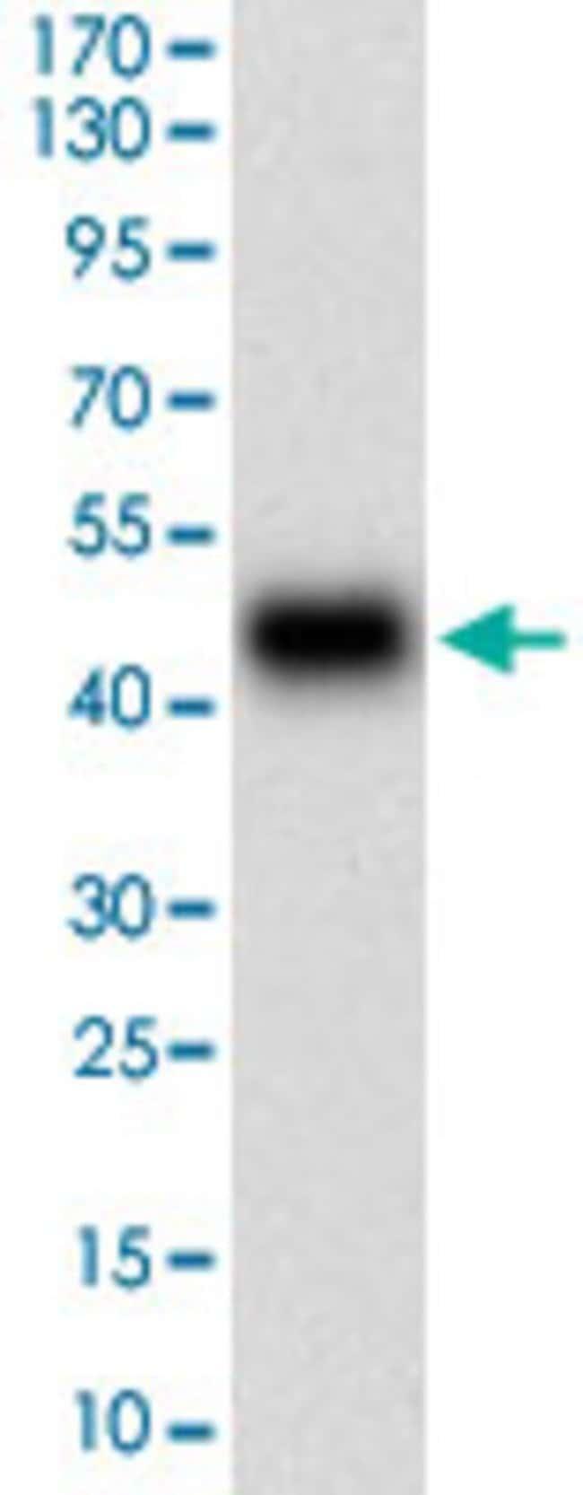 PLA2G12A Mouse anti-Human, Clone: 7C7C9, Abnova 100μg; Unlabeled:Antibodies