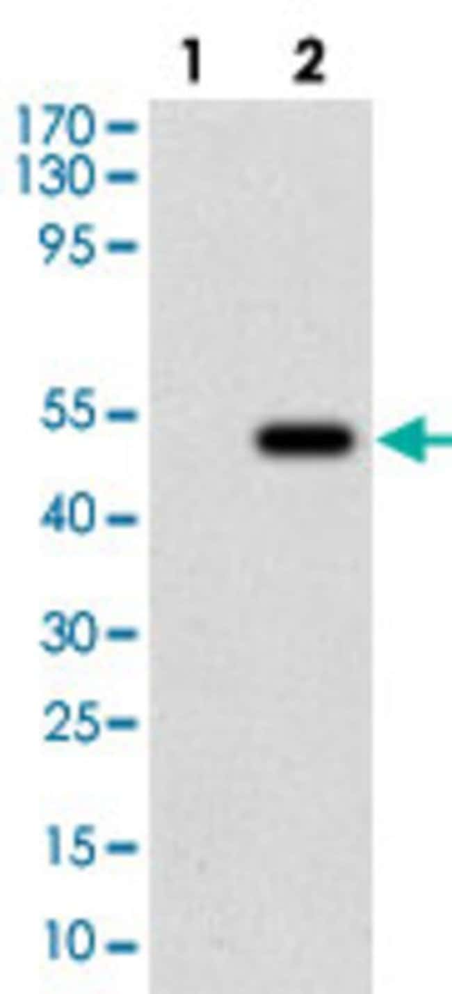 MSPLUNC2 Mouse anti-Human, Mouse, Clone: 2B4F5, Abnova 100μg; Unlabeled:Antibodies