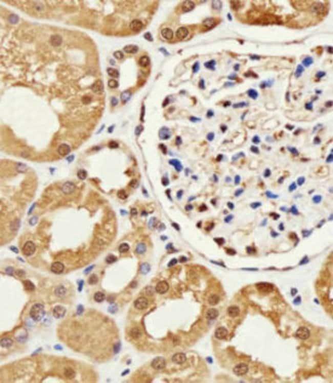 GAPDH Mouse anti-Human, Mouse, Rat, Clone: 1A10A10, Abnova 400μL; Unlabeled:Antibodies
