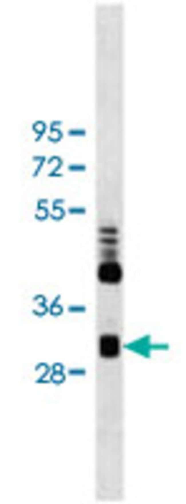 CLIC4 Mouse anti-Human, Clone: 17CT9.2.8, Abnova 400μL; Unlabeled:Antibodies