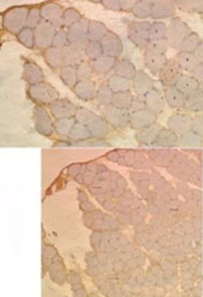 MAP1LC3A Mouse anti-Human, Mouse, Rat, Clone: 166AT1234, Abnova 400μL;