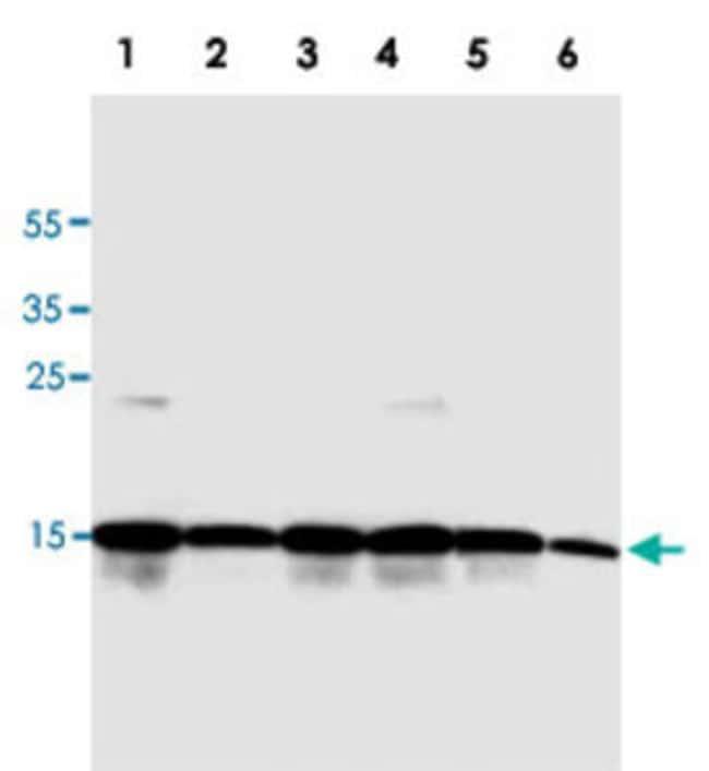 H2AFX Mouse anti-Human, Clone: 938CT5.1.1, Abnova 400μL; Unlabeled:Antibodies