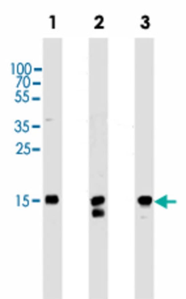 H2AFX Mouse anti-Human, Clone: 980CT1.5.5, Abnova 400μL; Unlabeled:Antibodies