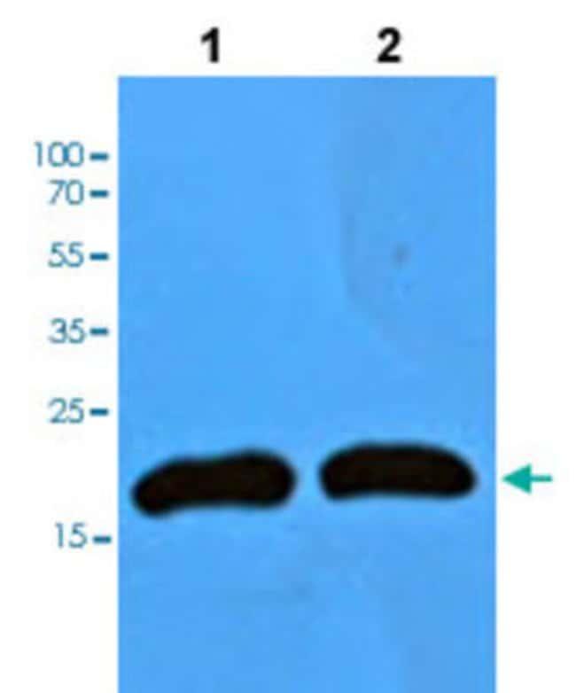MB Mouse anti-Human, Mouse, Clone: AT6E10, Abnova 50μL; Unlabeled:Antibodies